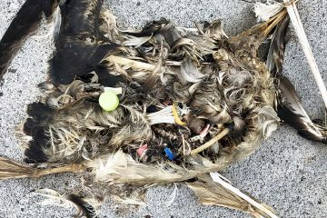 Photo of plastics sitting in a decomposed carcass of a seabird