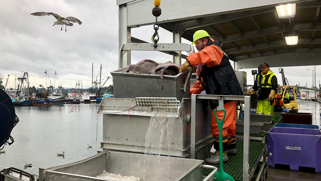 Photo of a worker dumping a bucket of fish onto a conveyor belt