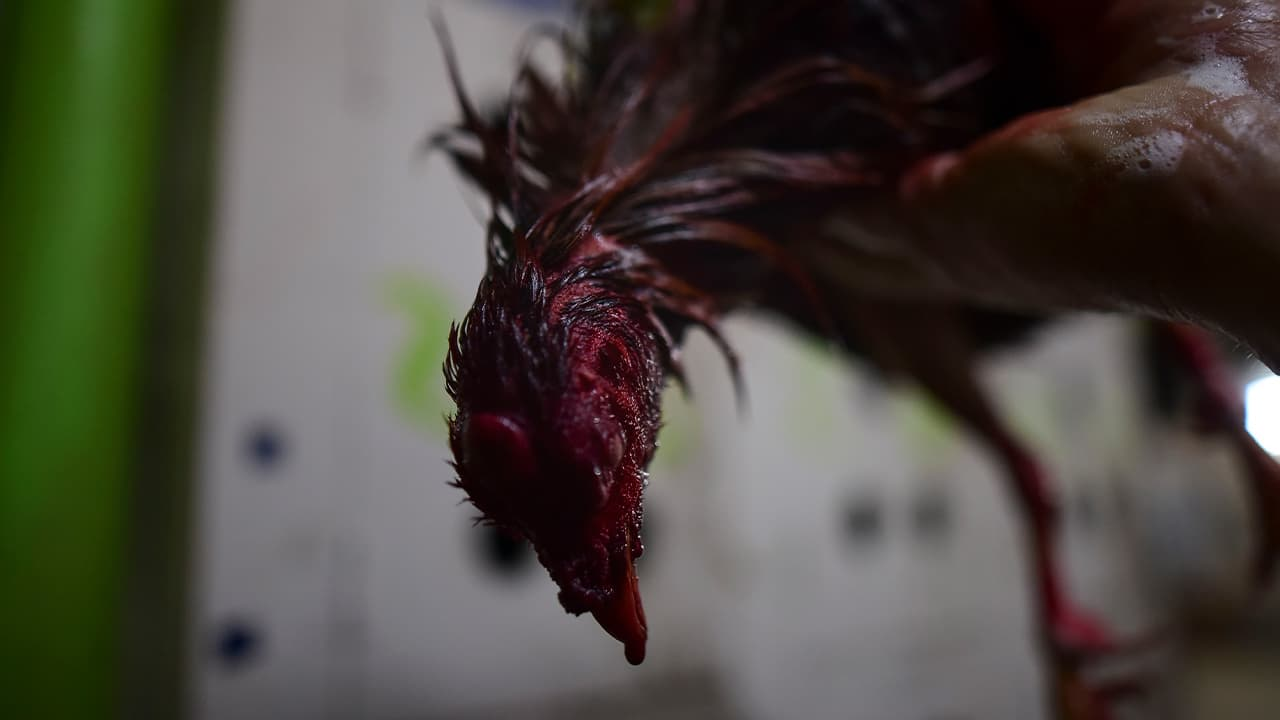 Photo of a dead gamecock