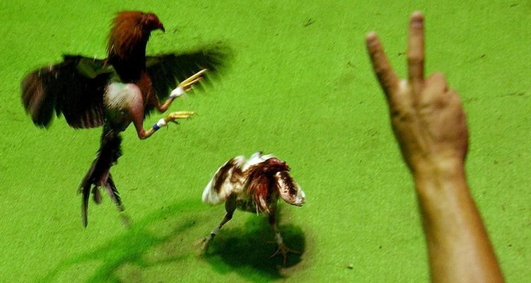 Photo of a cockfight in Puerto Rico
