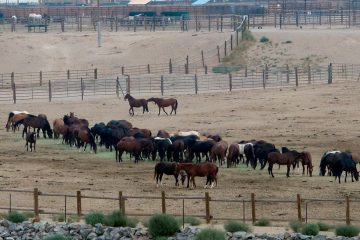 Photo of mustangs roam in a corral