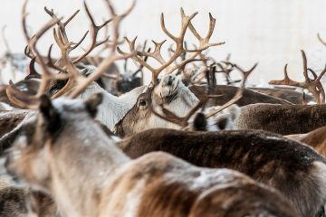 Photo of reindeer