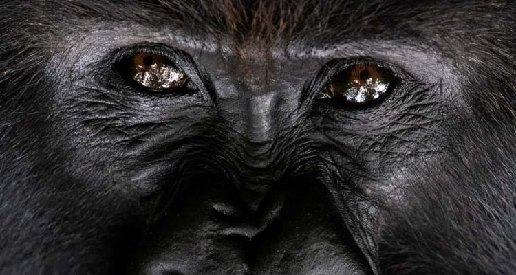 Photo of a silverback gorilla