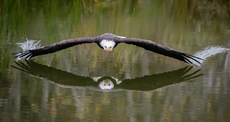 Photo of an eagle over water