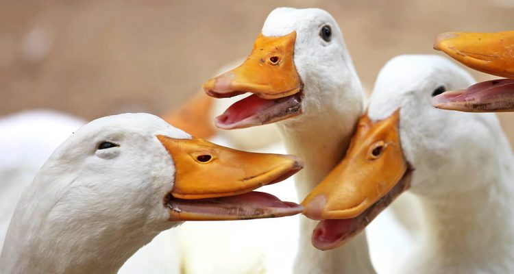 Photo of happy ducks