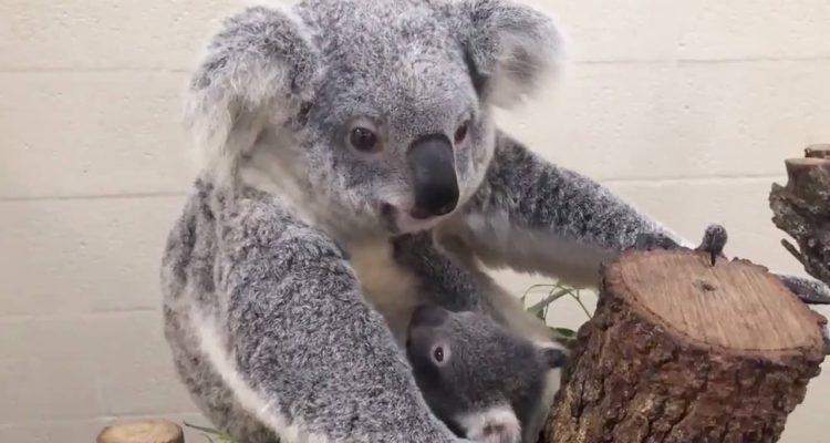 Photo of a koala and her joey