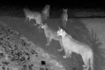Photo of mountain lions