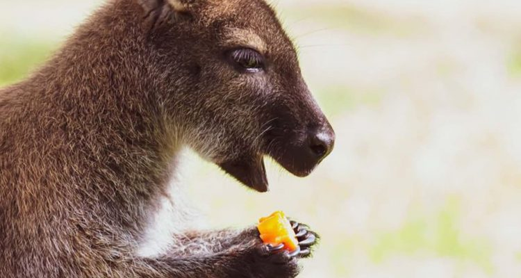 Photo of a wallaby eating a carrot