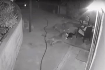 Photo of security camera footage showing a cat fending off three coyotes