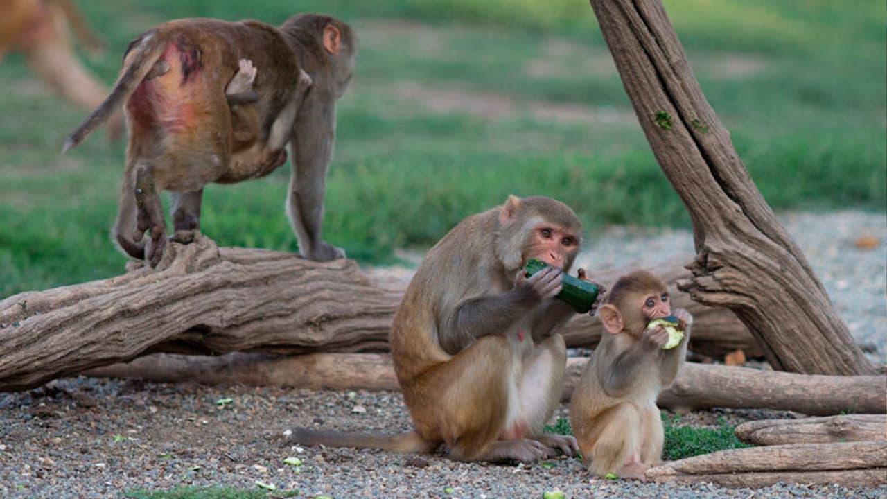Photo of rhesus monkeys in their outdoor enclosure