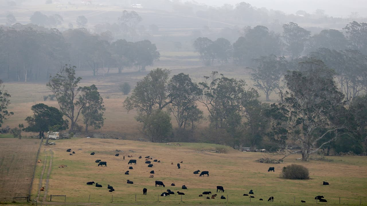 Photo of smoke and rain mix in air as cattle graze below burnt grass fields near Milton, Australia