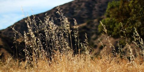 Dry grass in California foothills.