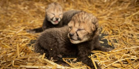 Photo of baby cheetahs