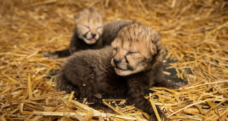 Photo of baby cheetahs