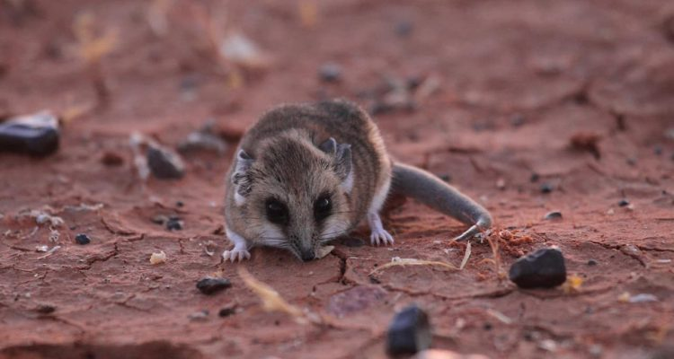Photo of a dunnart