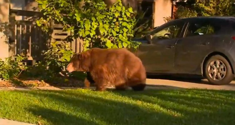 Photo of a bear walking in a front yard