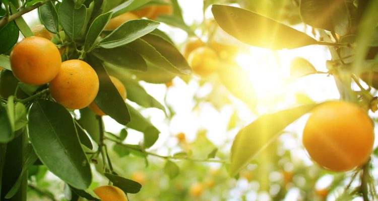 Photo of citrus trees