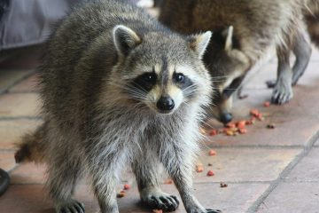 Photo of two raccoons eating dog food in a yard