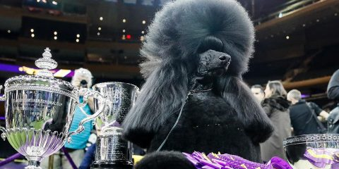 Photo of Siba, the poodle