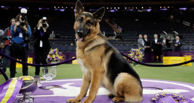 Photo of a Rumor, a German Shepherd posing for photos