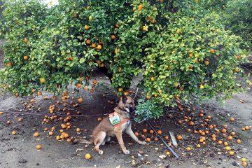 Photo of detector canine 'Szaboles'