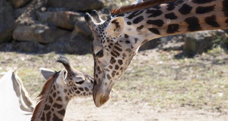 Photo of giraffes at the zoo