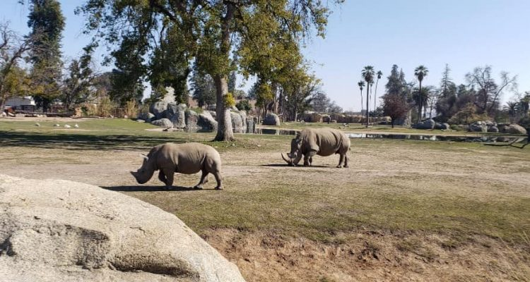 Photo of rhinos at the Fresno Chaffee Zoo