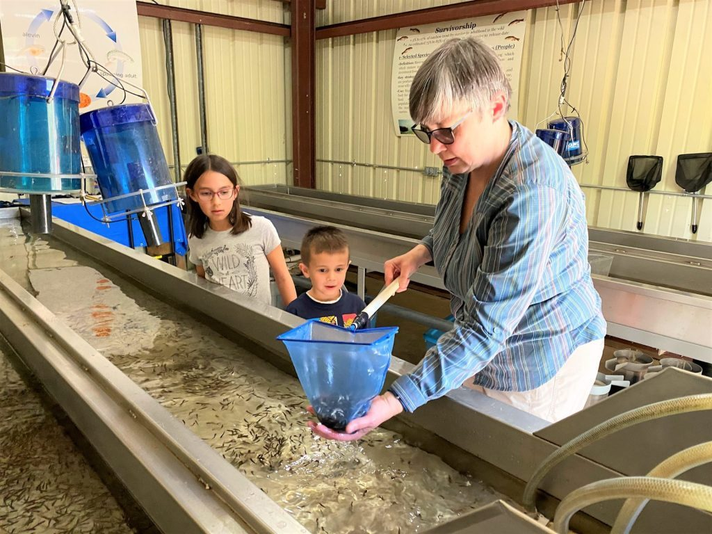 Photo of trout fry being scooped from an incubator filled with Kings River water