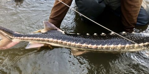 Photo of a rare wild green sturgeon found on the San Joaquin River in April 2020