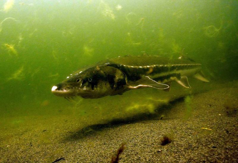 Underwater photo of a Klamath River green sturgeon