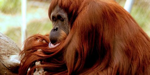 Photo of Sara, a Sumatran orangutan who was euthanized at age 49 at the Fresno Chaffee Zoo
