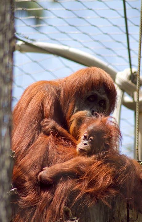 Sara, a Sumatran orangutan, holds a baby orangutan at the Fresno Chaffee Zoo