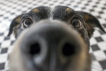 Photo of a close up of a dog's nose