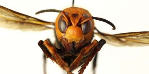 Photo of a murder hornet