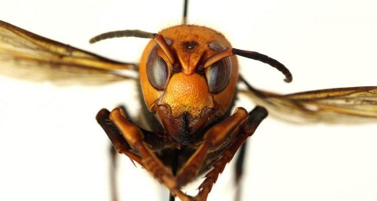 Photo of a murder hornet