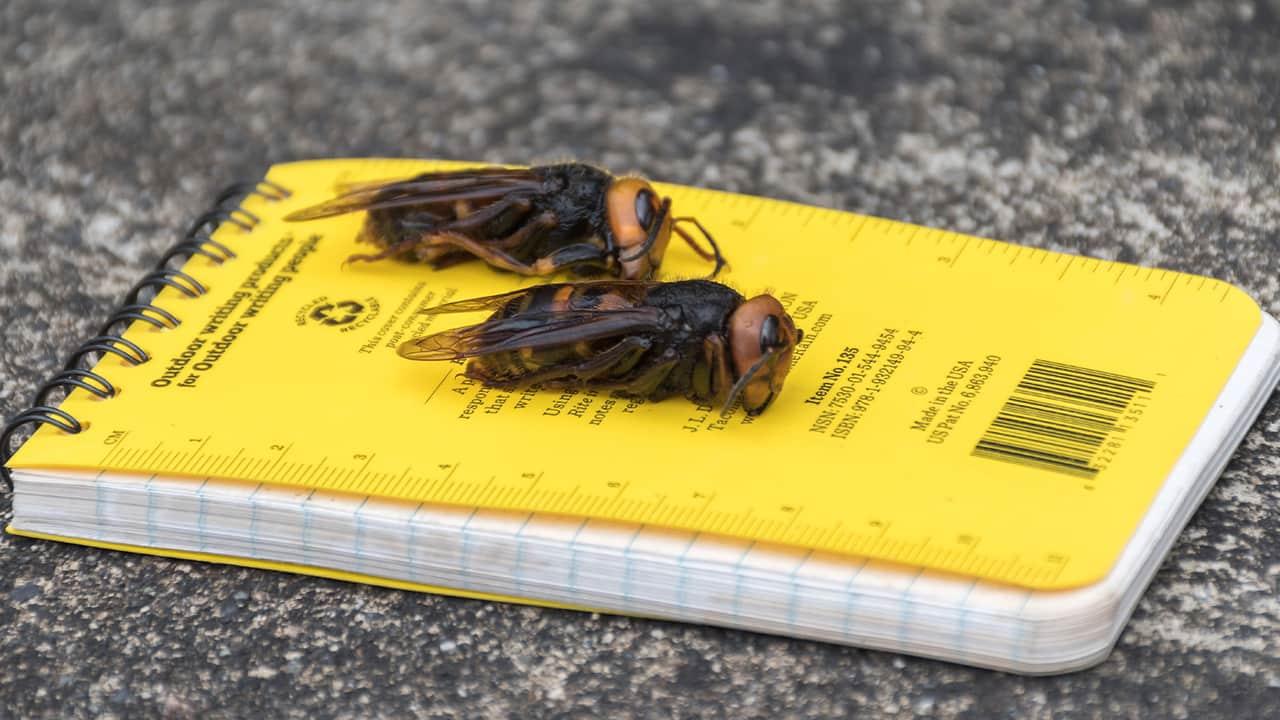 Photo of murder hornets