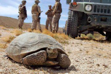 Photo of a a desert tortoise