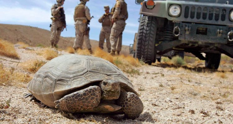 Photo of a a desert tortoise