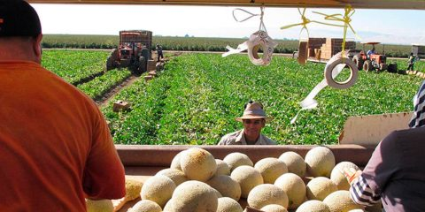 Workers pick and load cantaloupes into a trailer in Firebaugh, California