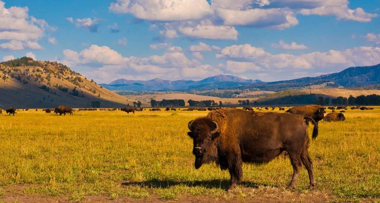 Photo of bison in Yellowstone National Park