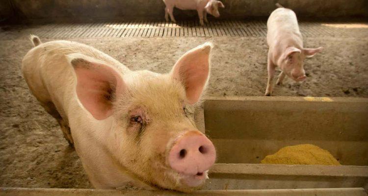 Photo of pigs