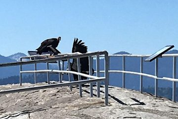 Image of two California condors atop a railing at Moro Rock in Sequoia National Park