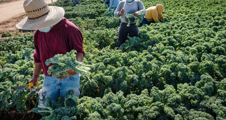 Photo of workers harvesting kale at a farm west of Modesto, California