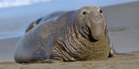 Photo of an elephant seal
