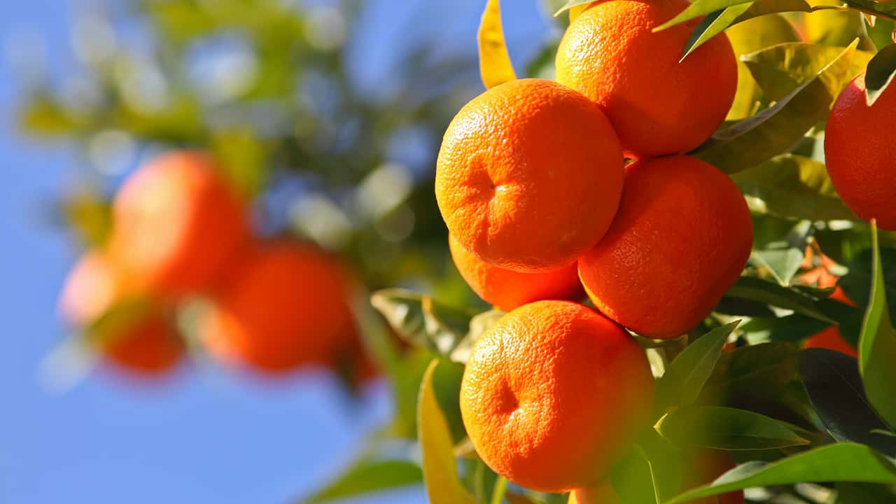 Photo of juicy oranges on a tree against a blue sky