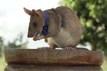 Photo of Cambodian landmine detection rat, Magawa