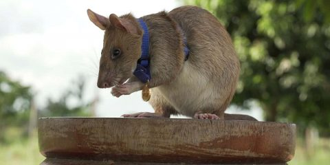 Photo of Cambodian landmine detection rat, Magawa
