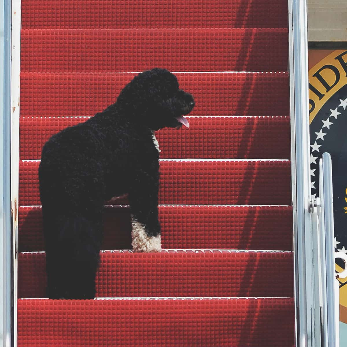 FILE – This Aug. 4, 2010 file photo shows presidential pet Bo climbing the stairs of Air Force One at Andrews Air Force Base, Md. for a flight to Chicago with President Barack Obama. (AP Photo/Cliff Owen, File)