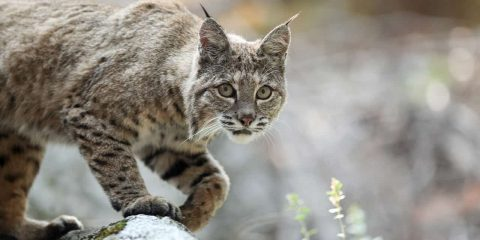 Photo of a bobcat
