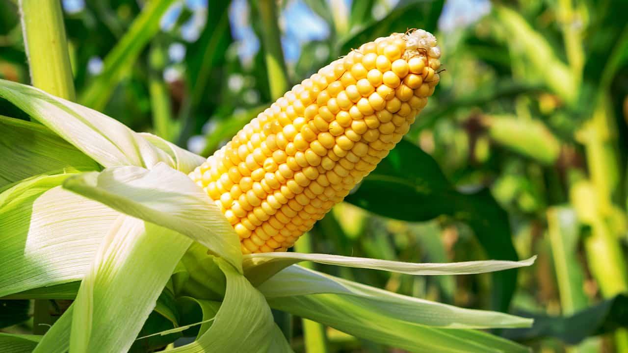Photo of an ear of corn in a field